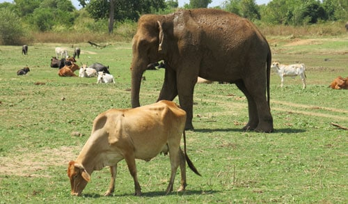Elephant With Cows